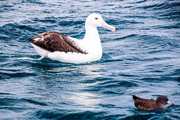 Albatross And Mutton Bird photographed in Waihau Bay - NZ General - Graham Reichardt Photography
