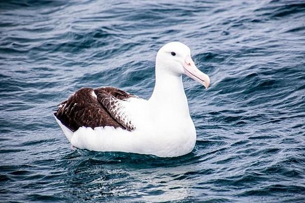 Albatross 5 photographed in Waihau Bay - NZ General - Graham Reichardt Photography