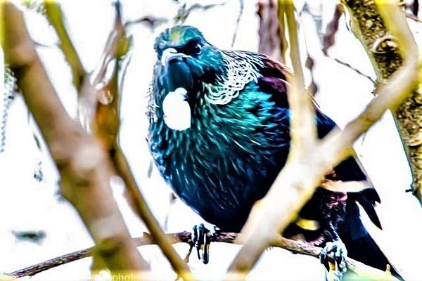 tui-1 - NZ General - Graham Reichardt Photography