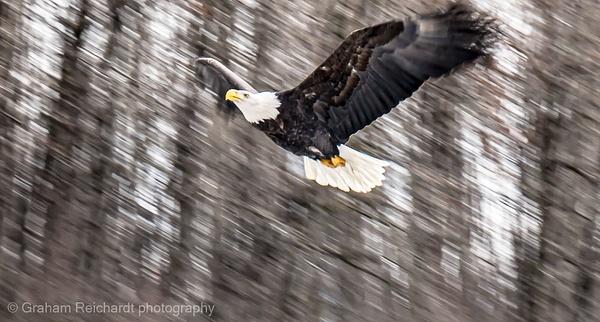 eagle1  Eagle with motion blur taken in Haines Alaska - Eagles - Graham Reichardt Photography