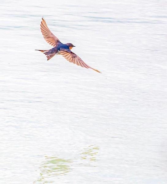 Welcome swallow on Lake Rotorua - NZ Scenery - Graham Reichardt Photography