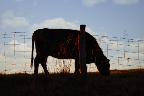 COW SUNSET by Bill Hunter
