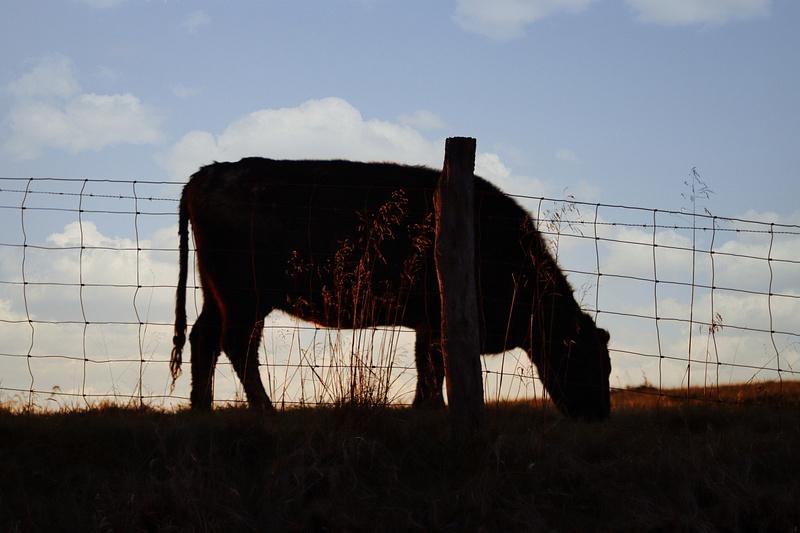COW SUNSET