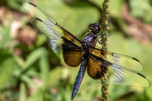 Female Widow Skimmer Dragonfly at Seneca Creek Park by...