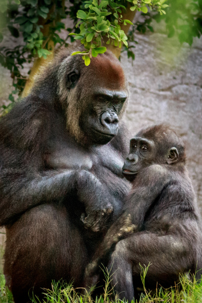 Gorilla Mother and Child by Brad Balfour