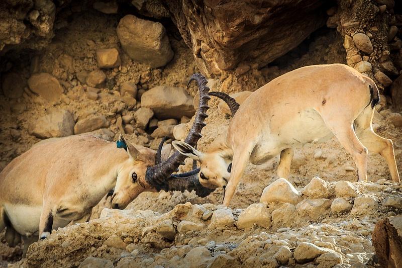 Fighting Ibex