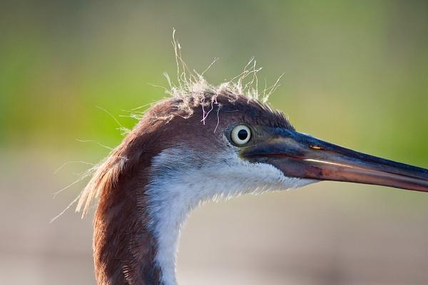 Tri Color Heron Portrait by Brad Balfour