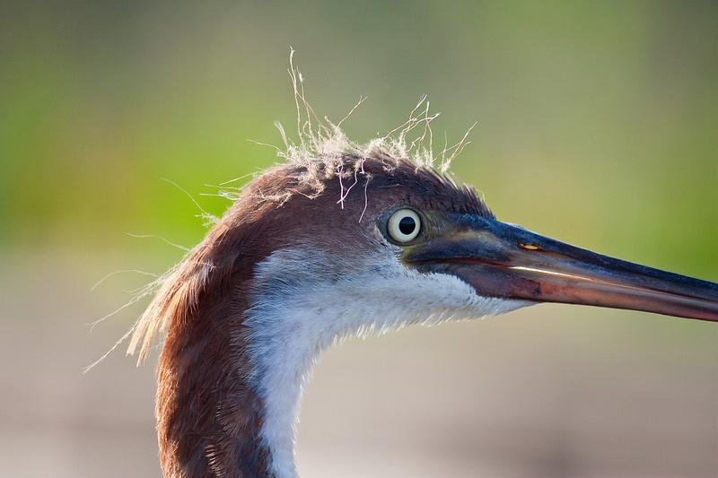 Tri Color Heron Portrait