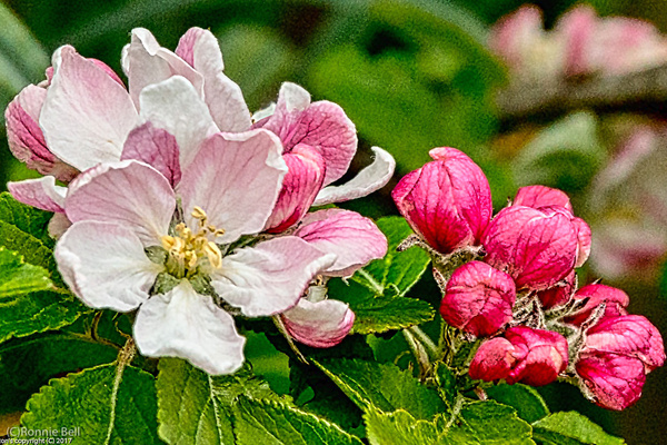 Apple Blossom - Flowers - Ronald Bell