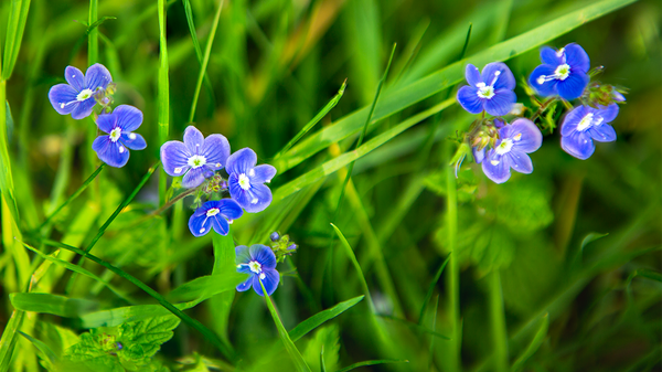 Forget-Me-Nots - Flowers - Ronald Bell