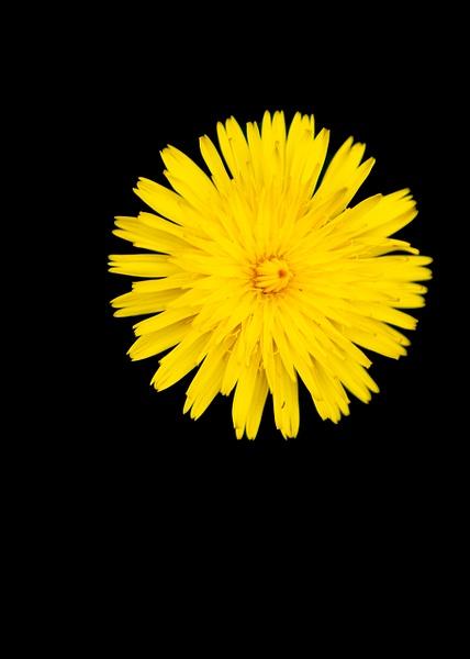 Dandilion-024 - Flowers - Ronald Bell