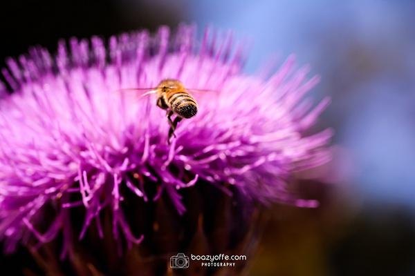 Flowers - Boaz Yoffe