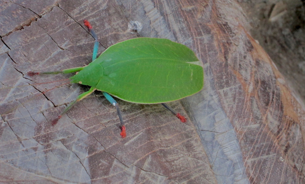 Phylliidae (Leaf Insect) inside BenCab Museum, Baguio...