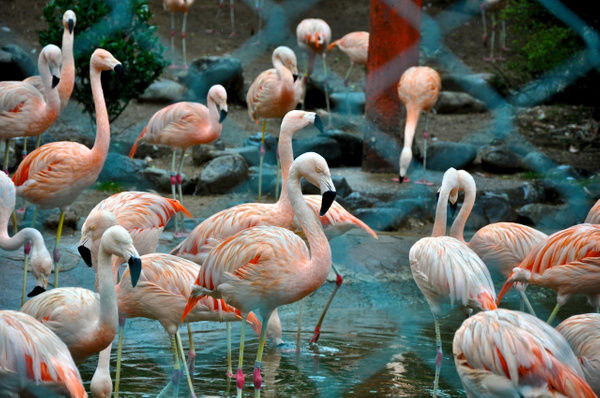 Flamingo - Japan Zoo by RollyTanchanco