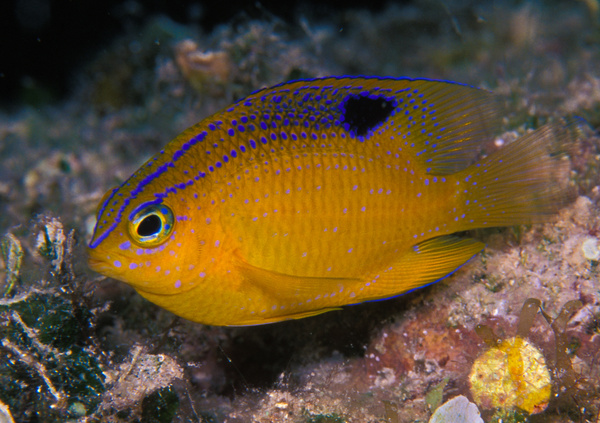 Longfin Damselfish - Marinelife - Keith Ibsen Photography