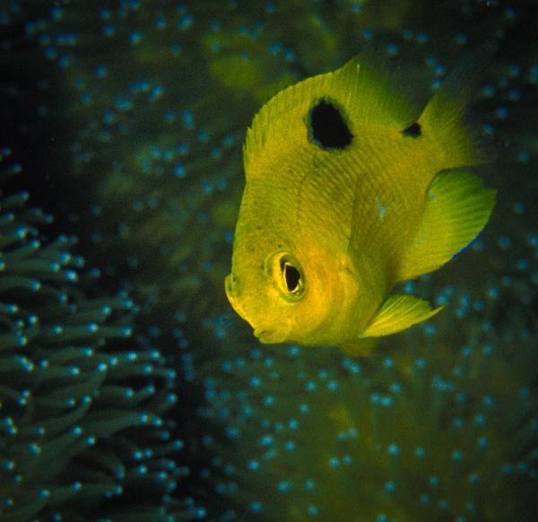 Juvenile Threespot Damselfish - Marinelife - Keith Ibsen Photography