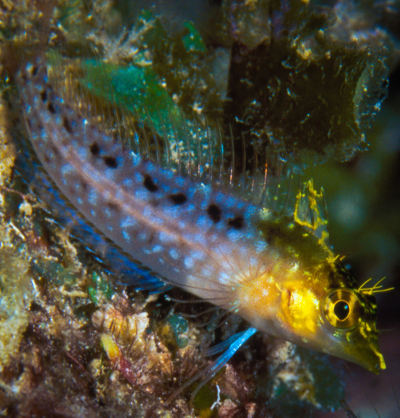 Diamond Blenny - Marinelife - Keith Ibsen Photography