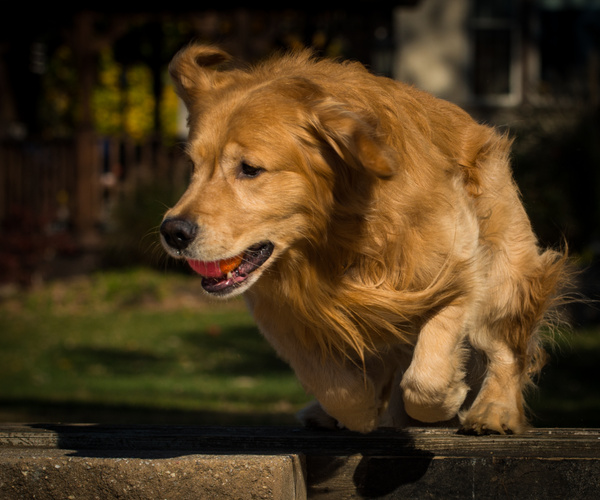 1611_BentlyBronson111816169169-1 - Dogs and Puppies - KeithIbsenPhotography