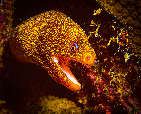 Gloden spotted mmoray - Marinelife - Keith Ibsen Photography