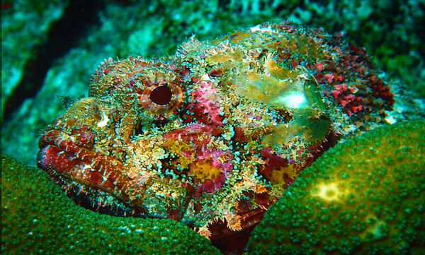 Scorpionfish Bonaire 010 - Marinelife - Keith Ibsen Photography