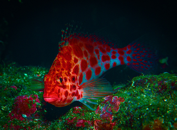 Red Spotted Hawkfish - Marinelife - Keith Ibsen Photography