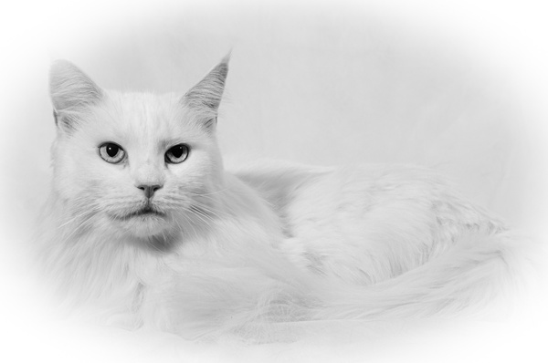 Cheshire Cats 70 - Cats and Kittens - KeithIbsenPhotography