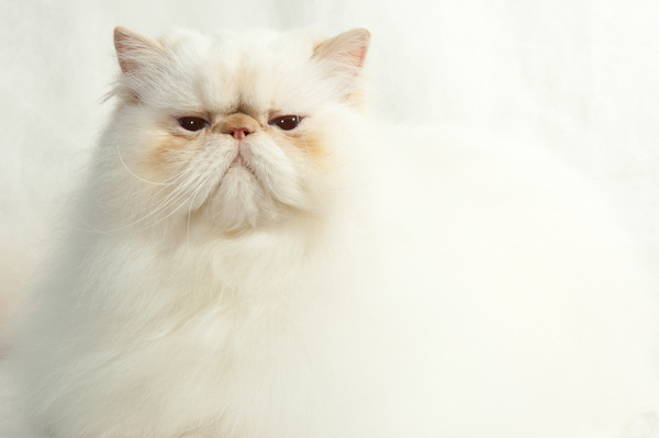 Cheshire Cats 288 - Cats and Kittens - KeithIbsenPhotography