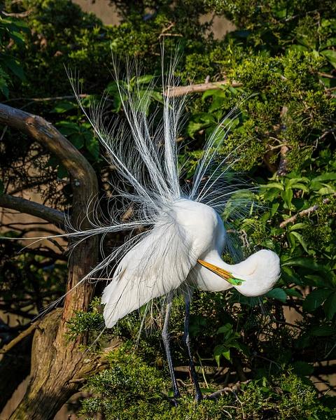 egret 2 - Birds - JaxPropix Photography