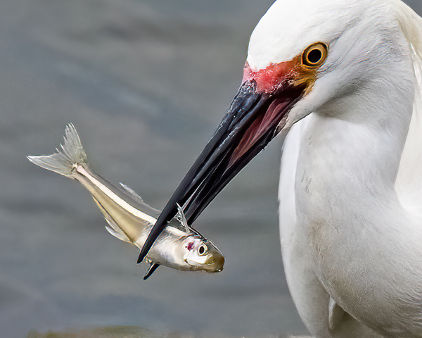 egret with fish - Birds - JaxPropix Photography