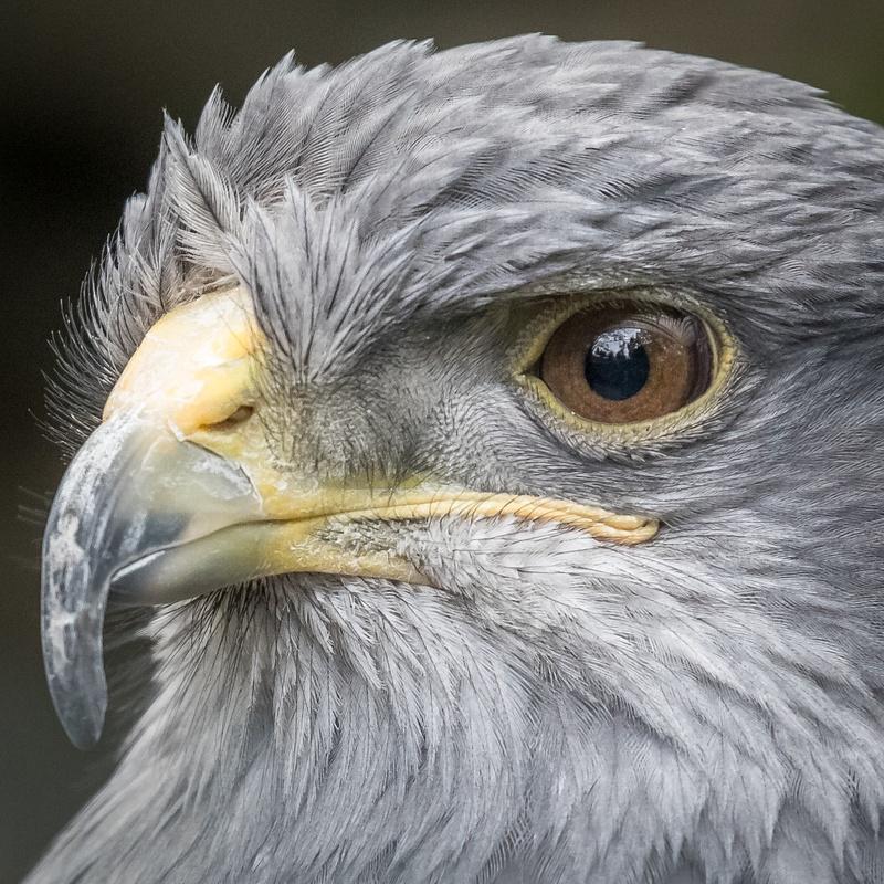 Equateur : Aigle