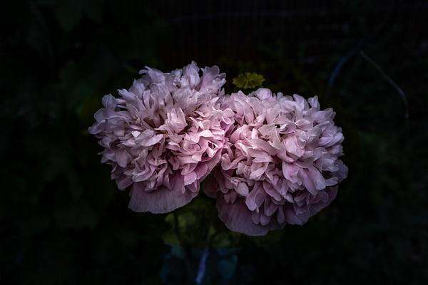 2020 - Fleurs de pavot