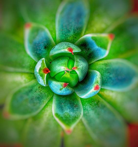 Desert-Rose-Succulent