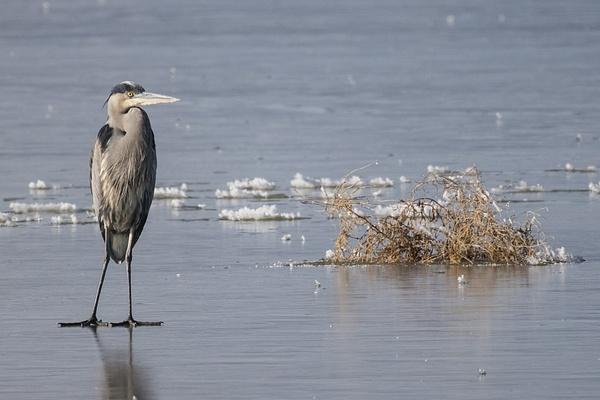 Great Blue Heron on Ice by KeeleysPhotos