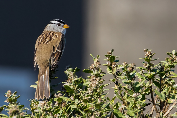 White-crowned Sparrow by KeeleysPhotos