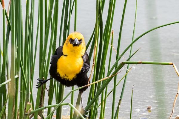 Yellow-headed Blackbird by KeeleysPhotos