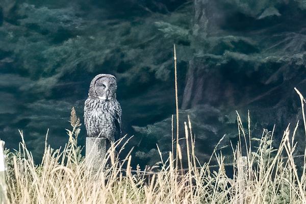 Great Gray Owl by KeeleysPhotos