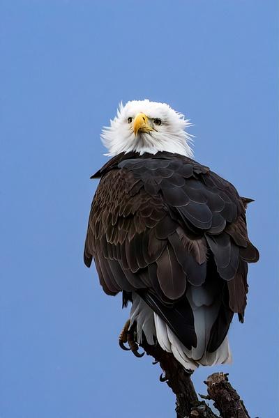 Bald Eagle by KeeleysPhotos