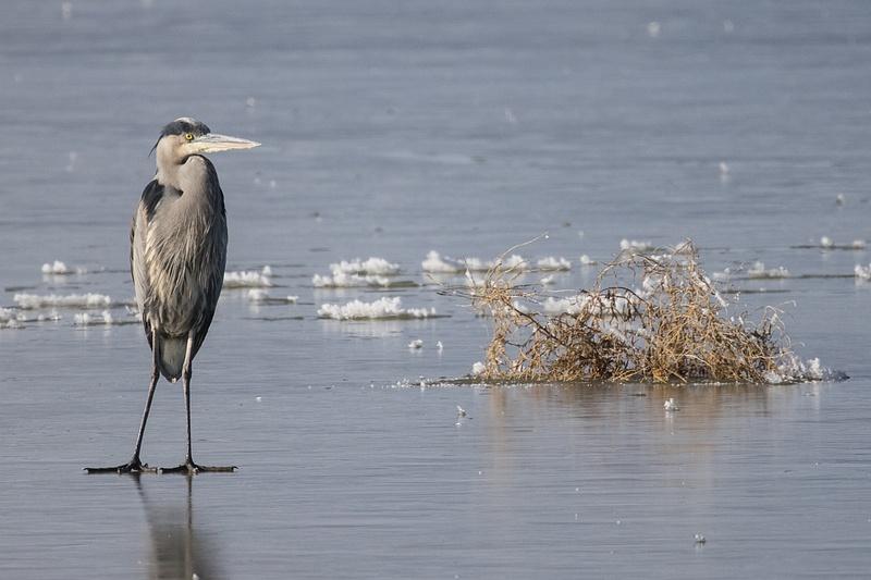 Great Blue Heron on Ice