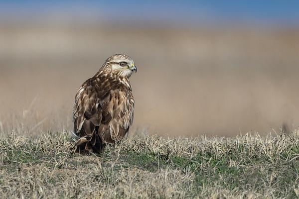Rough-legged Hawk by KeeleysPhotos