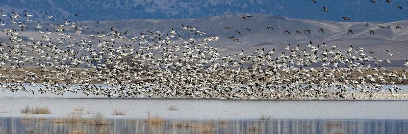 Snow Geese on Tule Lake