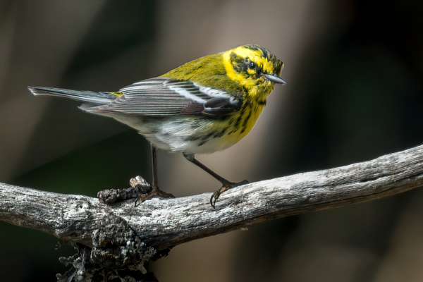 Townsend's Warbler by KeeleysPhotos