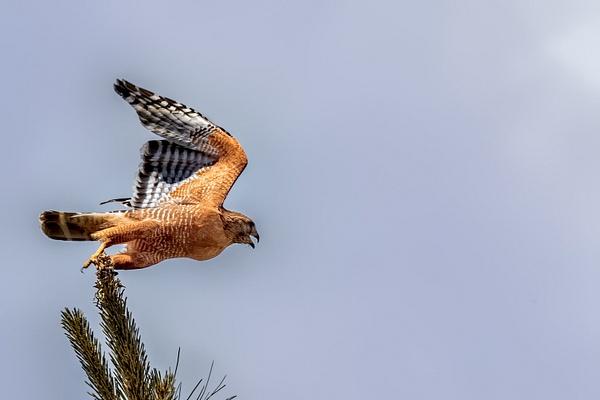 Red-shouldered Hawk by KeeleysPhotos
