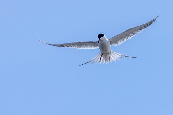Forster's Tern by KeeleysPhotos