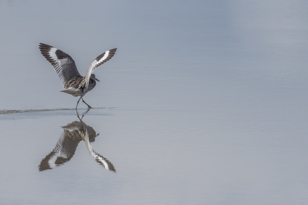 A Willet in the air by KeeleysPhotos