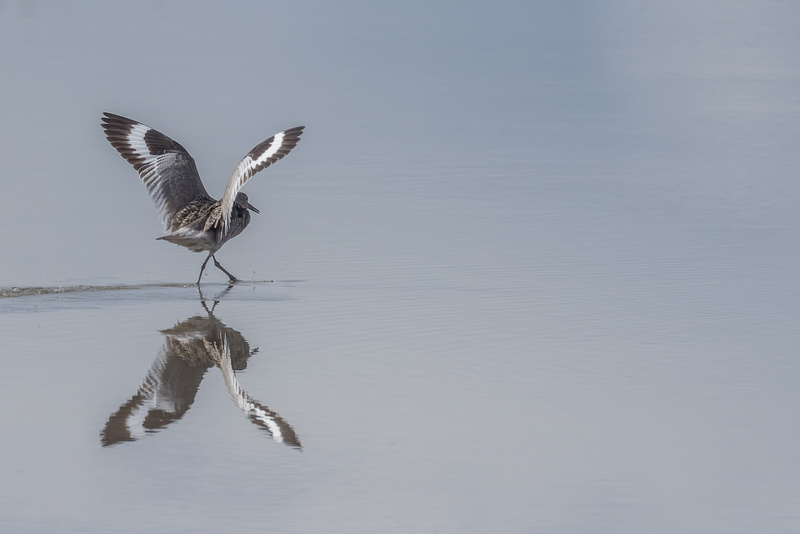 A Willet in the air