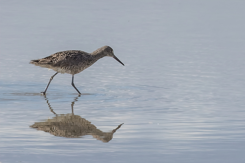 A Willet on the ground