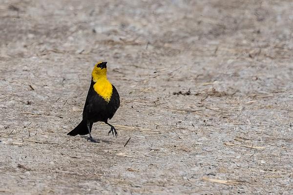 Yellow-headed Blackbird strutting his stuff by...