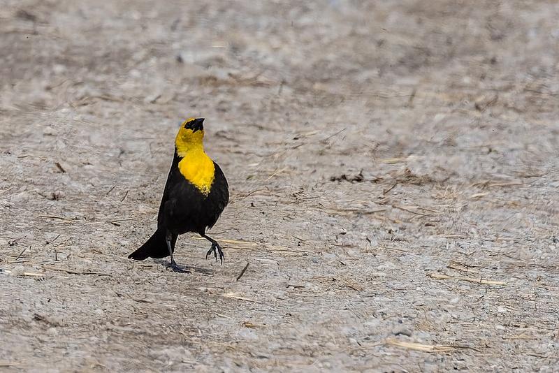 Yellow-headed Blackbird strutting his stuff