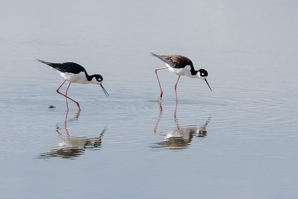 Black-necked Stilts by KeeleysPhotos