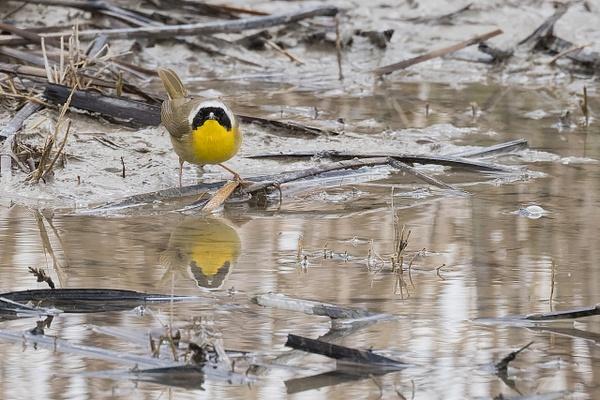 Common Yellowthroat by KeeleysPhotos